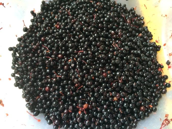 freshly harvested elderberries