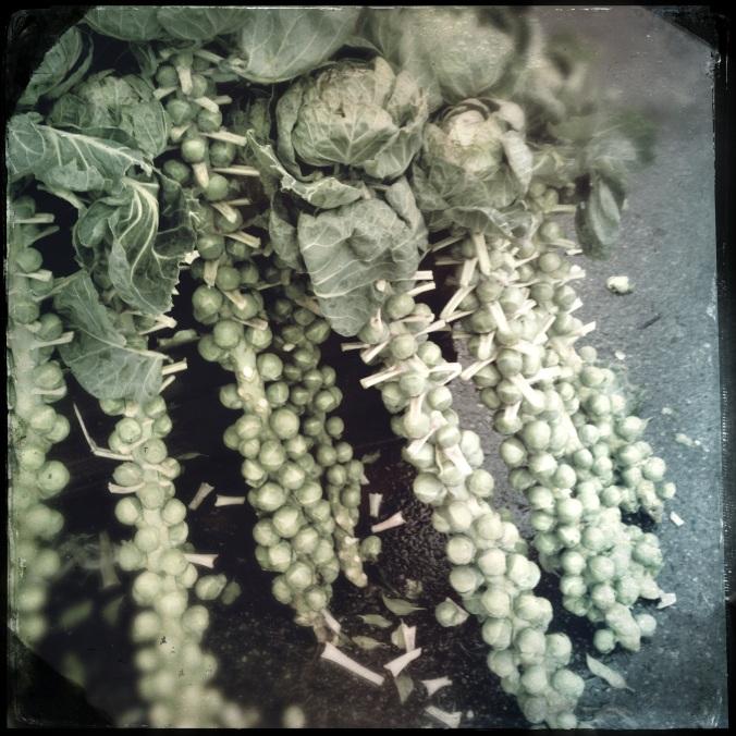 Brussel sprouts (Brassica oleracea)