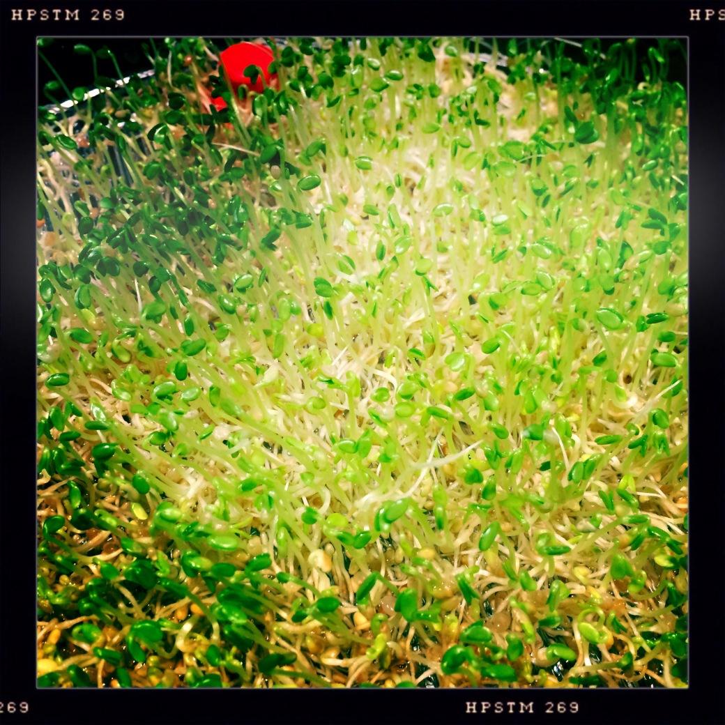 sprouting alfalfa